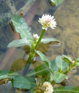 Alternanthera philoxeroides fleur