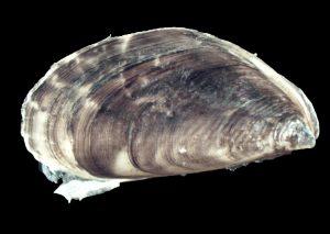 Dreissena rostriformis02 - ARALEP
