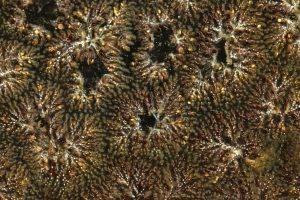 Zoarium de Pectinatella magnifica- P Notteghem