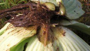 Graines et germination de Pistia stratiotes - Andres Hussner